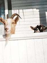 goatsOnPorch.jpg