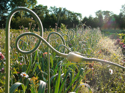 Garlic Scapes - Piebird Farm