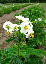Potato flowers - for our vegetarian dinners
