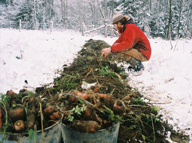 Harvesting carrots for the cellar